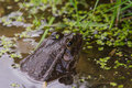 Marsh frog sitting in pond side profile Royalty Free Stock Image