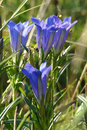 Marsh gentian gentiana pneumonanthe in pyrenees Royalty Free Stock Image