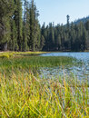 Marsh grass at forested mountain lake grows the edge of summit surround by forest lassen volcanic national park california Royalty Free Stock Photography