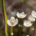 Marsh Grass-of-Parnassus (Parnassia palustris) Stock Photography