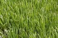 Marsh grass sedge natural background Royalty Free Stock Photo