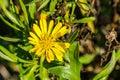 Marsh Gumplant Grindelia stricta flowering, California Royalty Free Stock Photo