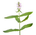 Marsh hedgenettle or marsh woundwort or Stachys palustris isolated on white background Royalty Free Stock Photo