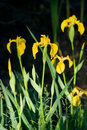 Marsh iris iris pseudacorus on the waterfront Stock Image
