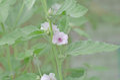 Marsh mallow Althaea officinalis Royalty Free Stock Photo