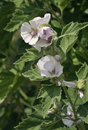 Marsh mallow flowers althaea officinalis Stock Photo