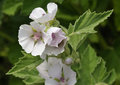 Marsh mallow flowers althaea officinalis found on the coast of north somerset Stock Image