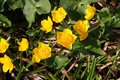Marsh Marigold in blossom with bright yellow flowers. Royalty Free Stock Photo