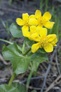 Marsh marigold blossoms in April Royalty Free Stock Images