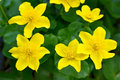 Marsh Marigold flowers Royalty Free Stock Photo