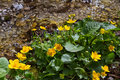 Marsh Marigold flowers (Caltha palustris) is sign of spring Royalty Free Stock Photo