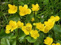 Marsh marigold flowers in spring stalk green wildflowers kingcup yellow april greens mayflower may wild Royalty Free Stock Photography