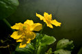 Marsh marigolds latin name caltha palustris Royalty Free Stock Images