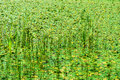 Marsh overgrown with reeds and duckweed Royalty Free Stock Photo