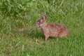 Marsh rabbit a on green grass Royalty Free Stock Images