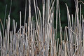 Marsh Reeds Royalty Free Stock Photos