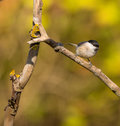 Marsh tit on dry branch a poecile palustris perches a Royalty Free Stock Images