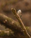 Marsh tit on dry branch a poecile palustris perches a Stock Photography