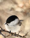 Marsh tit perched on a branch Stock Photo