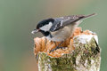 Marsh tit photo of with seed Royalty Free Stock Images