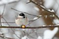 The marsh tit sitting on a branch poecile palustris in winter season eating corn Stock Images