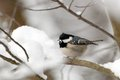 Marsh tit sitting on a branch in winter season Royalty Free Stock Photos