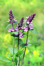Marsh woundwort lat.Stachys palustris Royalty Free Stock Photo