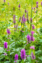 Marsh woundwort Stachys palustris pink flowers Royalty Free Stock Photo