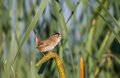 Marsh wren close up shot Royalty Free Stock Photos