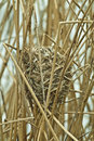 A marsh wren nest in the reeds next to a pond Stock Photos