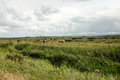 Marshland cattle reeds lead to a field with a herd of backed by a cloudy sky Royalty Free Stock Image