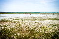Marshy landscape vintage flowery north moorland in the spring Royalty Free Stock Photo