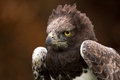 Martial eagle against a background of blurred dark brown leaves Royalty Free Stock Images