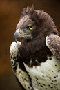 Martial eagle against a background of blurred dark brown leaves Stock Photography
