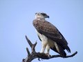 Martial eagle polemaetus bellicosus looking backwards in kruger national park south africa Royalty Free Stock Photography