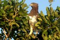 Martial eagle polemaetus bellicosus looking left in kruger national park south africa Royalty Free Stock Photo