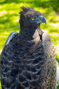 Martial eagle portrait Royalty Free Stock Photo