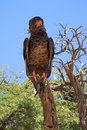 Martial eagle seen in the kalahari desert Royalty Free Stock Images
