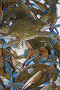 Maryland Blue Crabs Royalty Free Stock Photography