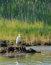 Maryland shore bird beautiful on the chesapeake bay in perched on a large rock looking for fish Stock Photography