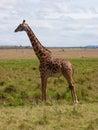 Masai giraffe Stock Image