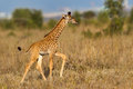 Masai Giraffe Calf Walking Royalty Free Stock Photo