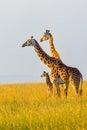 Masai Giraffe Family Royalty Free Stock Photo