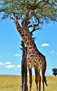 Masai giraffe in kenya a on kenyas mara preserve a part of africas serengeti ecosystem Stock Image