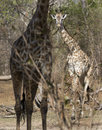 Masai giraffe, Selous Game Reserve, Tanzania Royalty Free Stock Photo