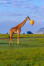 Masai Giraffe With Speech Bubble