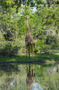 Masai giraffe at watering hole Royalty Free Stock Photo