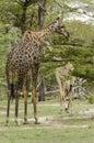 Masai giraffes feeding giraffe giraffa camelopardalis tippelskirchi selous game reserve tanzania africa the selous was designated Royalty Free Stock Image