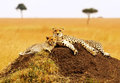 Masai mara cheetahs acinonyx jubatus on the national reserve safari in southwestern kenya Stock Images