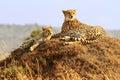 Masai Mara Cheetahs Royalty Free Stock Photo
